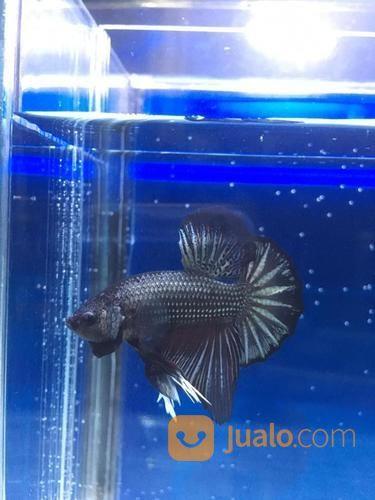 Ikan Cupang Plakat Hmpk Jambi Jualo