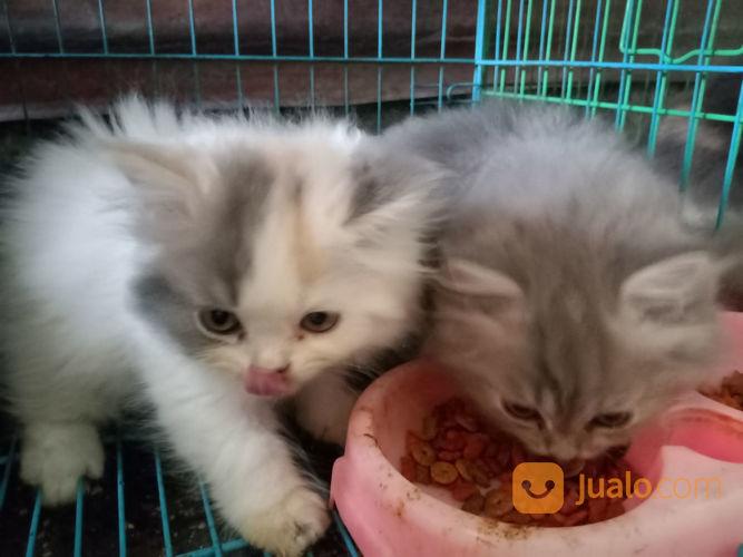 Kucing Persia Umur 3 Bulan Yogyakarta Jualo