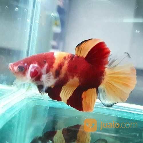 Ikan Cupang Plakat Nemo Full Block Jakarta Pusat Jualo