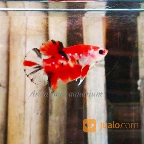 Ikan Cupang Koi Cupang Hias Murah Ecer Grosir Cirebon Cirebon Jualo