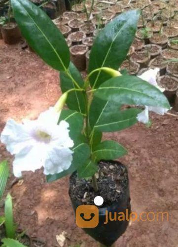 Bibit Pohon Tabebuya Bunga Pink Kuning Bandung Jualo