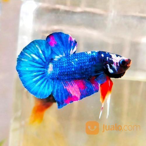 Cupang Plakat Blue Avatar Jakarta Selatan Jualo