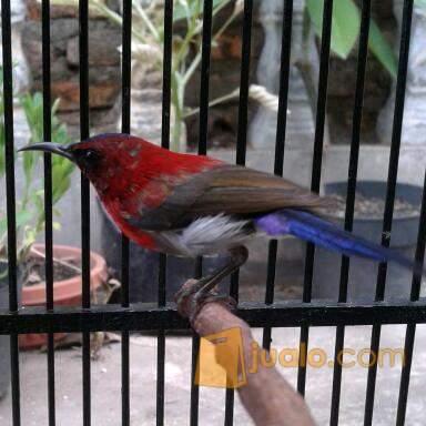 Kolibri Sepah Raja Fullset Bekasi Jualo