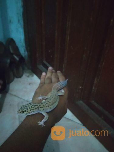 LEOPARD GECKO MALE (JANTAN) (21531319) di Kota Jakarta Utara
