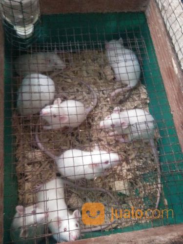 Tikus Putih Tangerang (21655155) di Kota Tangerang