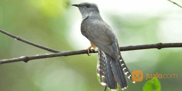 Burung Mistis Kedasih Tituit Legenda Mitos Jakarta Selatan Jualo