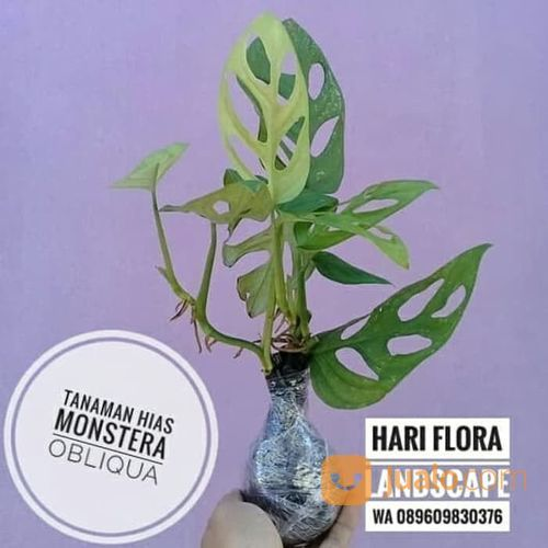 Tanaman Monstera Obliqua Janda Bolong Bogor Jualo