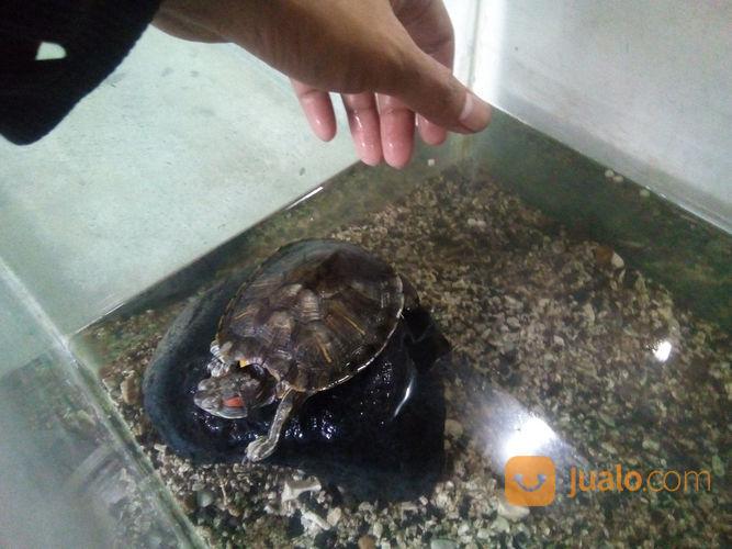 Kura-Kura Ambon, Brazil, Dan Leher Panjang (22183839) di Kota Bandung