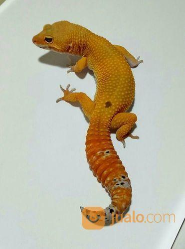 Leopard Gecko MALE SHTCT (22234447) di Kota Bogor