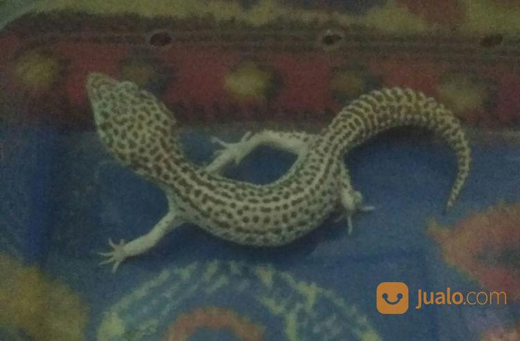 Leopard Gecko SUPER SNOW BELL PH BLIZARD (22245639) di Kota Bogor