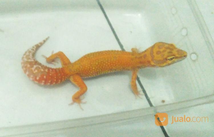 Leopard Gecko BLOOD?APTOR?HET?TREMPER?PH RAPTOR? (22245991) di Kota Bogor