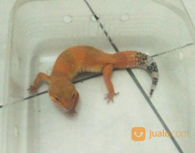 Leopard Gecko SHTCT HET BELL (22246227) di Kota Bogor