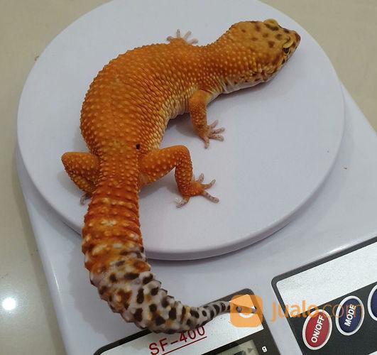 Leopard Gecko HYPO TANGERIN HET TREMPER (22246791) di Kota Bogor