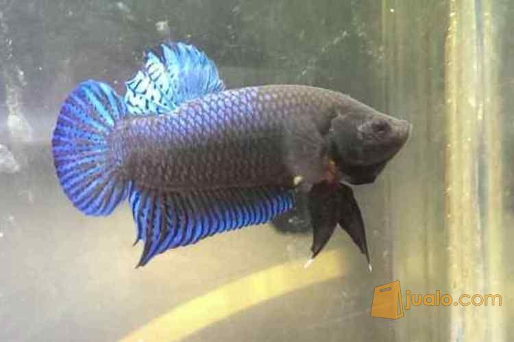 Ikan Cupang Aduan Berkualitas Impor Dijakarta Jakarta Utara Jualo