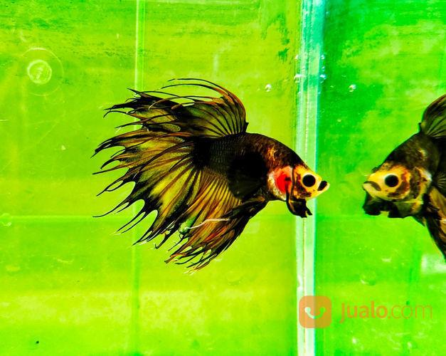 Ikan Cupang Crowntail Serit Monkey Face Mustard Gas Jakarta Selatan Jualo
