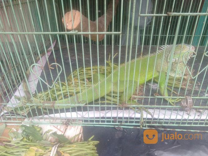 IGUANA GREEN FREE KANDANG (22477331) di Kota Jakarta Timur