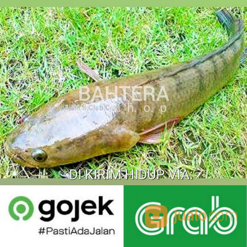 Ikan Gabus Hidup (22479151) di Pasarkemis