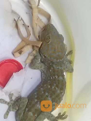 Giant Gecko Langka (22509067) di Kab. Kulon Progo