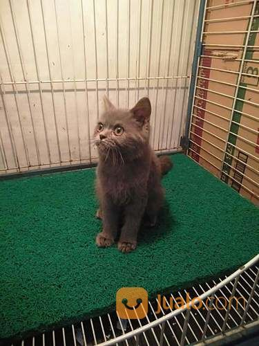 Kitten British Shorthair Mojokerto Jualo