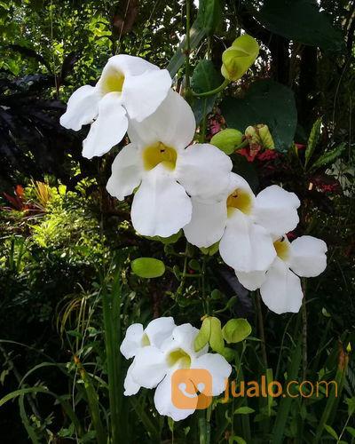 Tanaman Rambat Bunga Thunbergia Putih Bogor Jualo