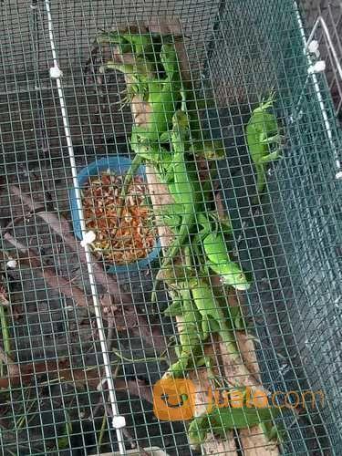 MURMER. Baby Iguana Green, Ready Stok (22584971) di Kota Kediri