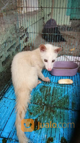 Musang Pandan Albino Sepasang Mojokerto Jualo