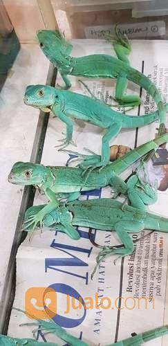 Iguana Blue , Blue Iguana 30 Cm (22679243) di Kota Bogor