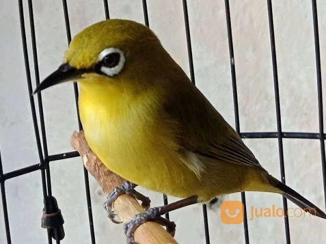 Burung Pleci Dakun Garut Jakarta Timur Jualo