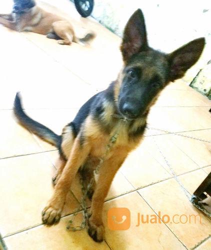 Anjing herder german anjing 23153871