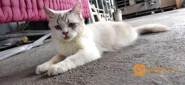Kucing Ragdoll Betina Lynx Point Jakarta Barat Jualo