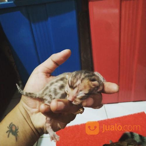 Kucing Bengal Kitten Kab Sidoarjo Jualo