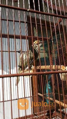 Cucak rowo medan puny burung dan unggas lainnya 23782211
