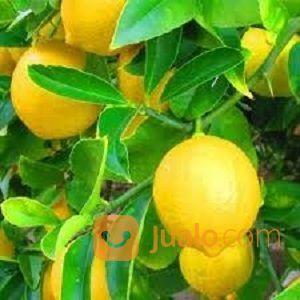 Bibit Tanaman Jeruk Lemon Tea Super Harga Grosir Kab Purworejo Jualo