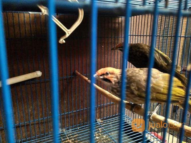 Jodohan Cucakrowo Sumatra Kualitas Bagus (23904539) di Kab. Grobogan