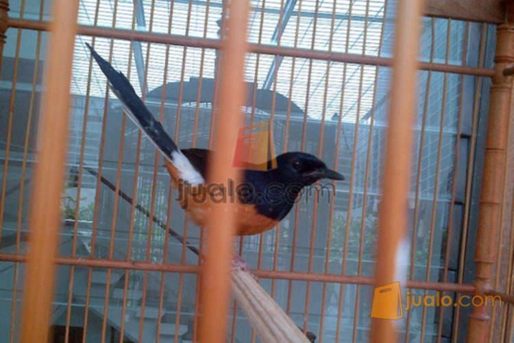 Burung Murai Batu Medan Muda Hutan Kaki Hitam Jakarta Jualo