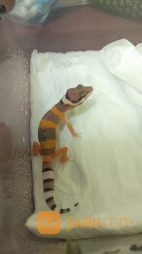Leopard Gecko/Gecko (Baby/Baby Up) (24458391) di Kota Tangerang