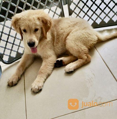 Golden Retriever Puppies (24967463) di Kota Tangerang Selatan