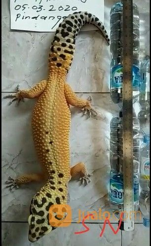 Gecko Ukuran 40 Up (25671971) di Kab. Bekasi