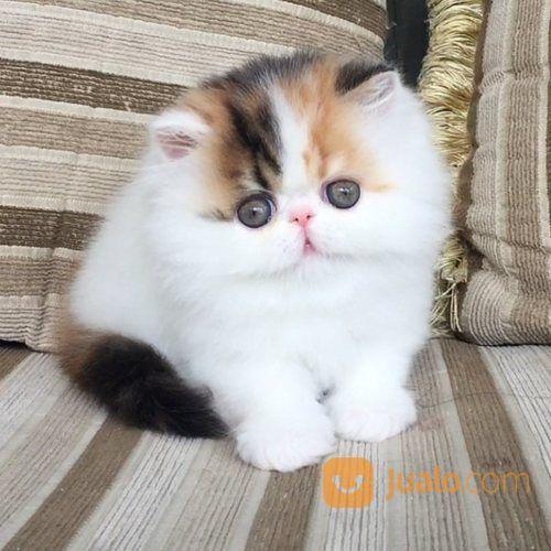 Kucing Persia Peaknose Pesek Sudah Vaksin Kab Jember Jualo