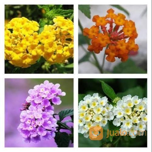 Tanaman Bunga Lantana Hias Metro Jualo