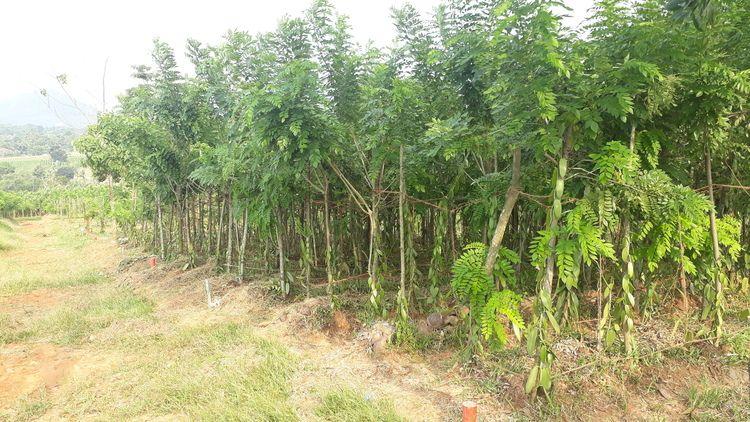 Kebun Vanili Tahap 6 (26089239) di Kab. Bogor