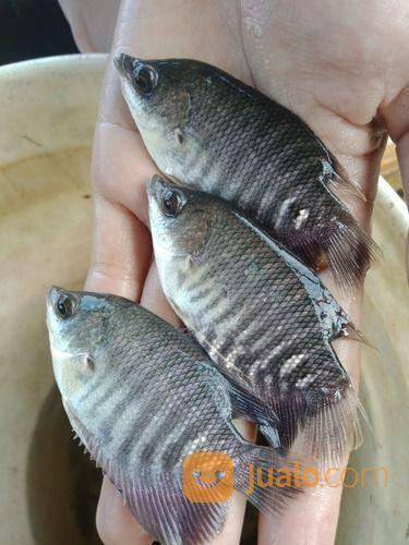 Bibit Ikan Gurame Soang Ukuran 2 Jari Di Sekojo Palembang Jualo