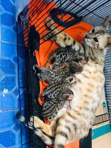 Kitten Bengal Termurah Bekasi Jualo