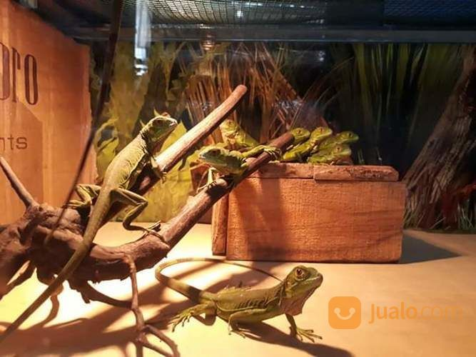 Tangkringan Kayu Kopi Untuk Iguana Gecko Reptil (26624531) di Kab. Karanganyar