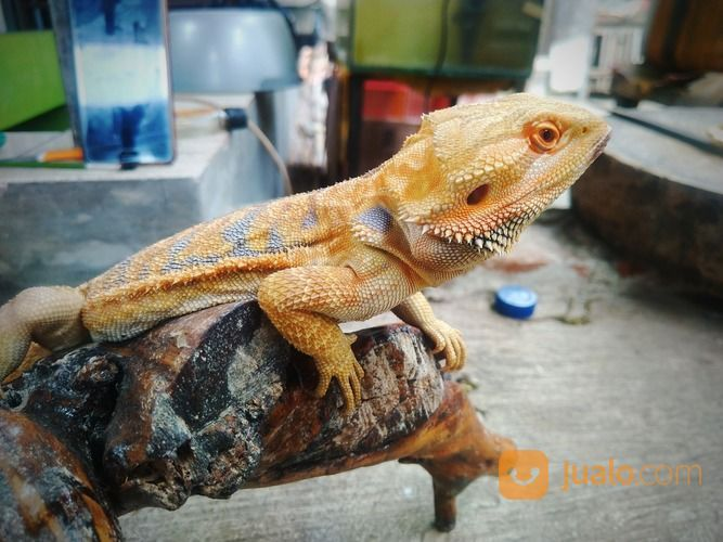 Bearded Dragon Adult Male (26672819) di Kota Bandung