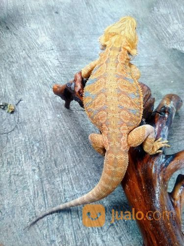 Bearded Dragon Adult Male (26672823) di Kota Bandung