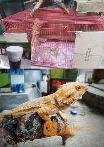 Bearded Dragon Adult Male (26672827) di Kota Bandung