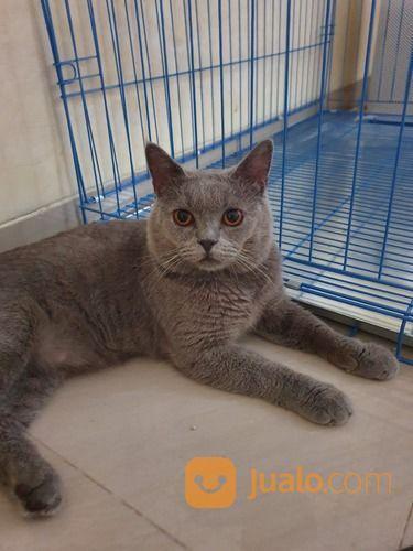 Jasa Pacak Kucing British Shorthair Jakarta Pusat Jualo