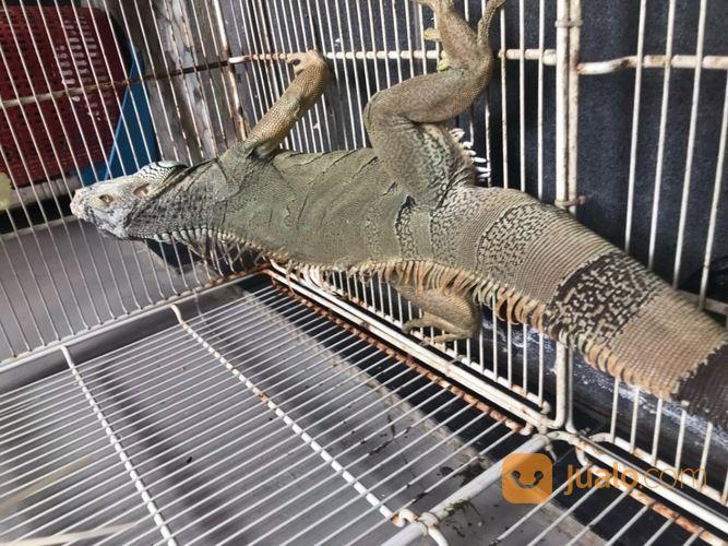 Iguana Green Columbia (27809027) di Kota Cilegon