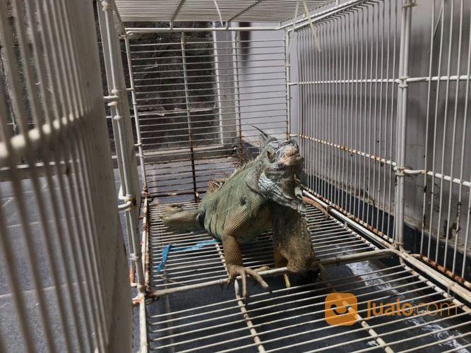 Iguana Green Columbia (27809035) di Kota Cilegon